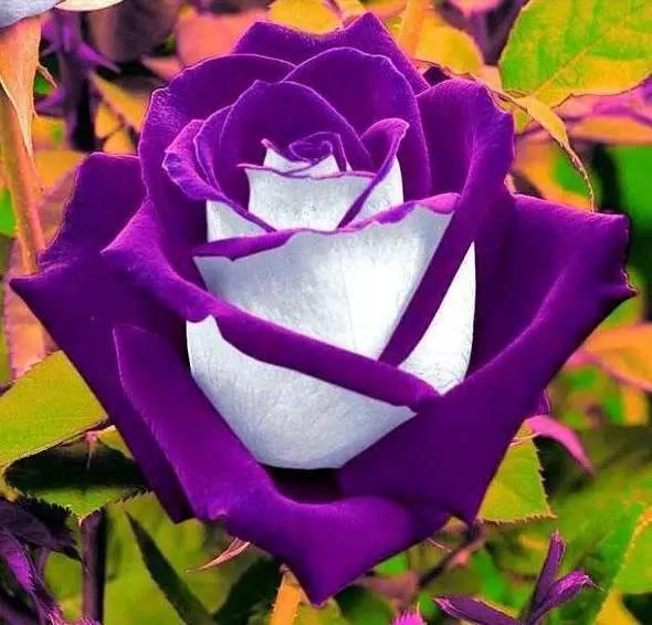 情人节快乐!所有罕见的玫瑰,送给你!