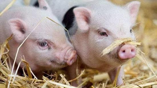 这种猪肉宁可扔了也不要吃!细菌、寄生虫特别多,教你怎样选猪肉!